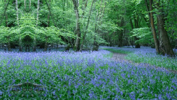 PowerPoint pictures - bluebell 16x9
